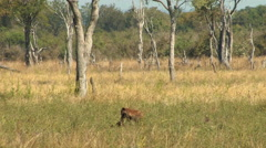 Hyena drags off carcass, SOUTH LUANGWA NATIONAL PARK, ZAMBIA - CIRCA MAY, 2009 Arkistovideo