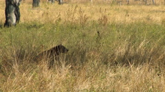 HYENA, SOUTH LUANGWA NATIONAL PARK, ZAMBIA - CIRCA MAY, 2009 Stock Footage