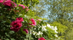 Pink and white peonies in a park. Paris, France Stock Footage