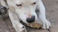 Dog gnaw bone Stock Footage