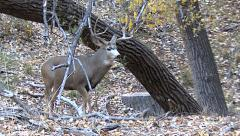 Rutting Mule Deer Buck Excitedly Follows Hot Doe in Woods Stock Footage