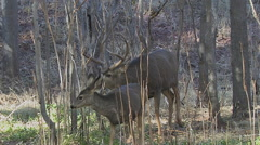 Mule Deer Doe & Fawn Checked Out by Rutting Buck in Woods Part Two Stock Footage