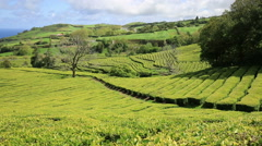 Tea plantation at Cha Gorreana, Maia, San Miguel, Azores, Portugal Stock Footage