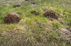 Damaged park grass by mole, destructive environment problem. Stock Photos