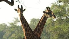 Two Giraffes; SOUTH LUANGWA PARK, ZAMBIA- CIRCA MAY 2009 Stock Footage