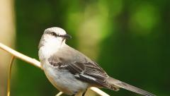 Northern Mockingbird (Mimus polyglottos) Stock Footage