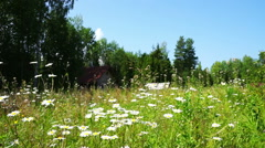 Beautiful White Daisy Flowers at Summer field Stock Footage
