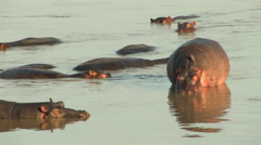 Hippos, SOUTH LUANGWA NATIONAL PARK, ZAMBIA - CIRCA MAY, 2009 Stock Footage