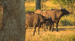 WATER BUFFALO; SOUTH LUANGWA NATIONAL PARK, ZAMBIA - CIRCA MAY, 2009 Stock Footage
