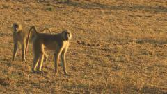 Baboons, SOUTH LUANGWA NATIONAL PARK, ZAMBIA - CIRCA MAY, 2009 Stock Footage