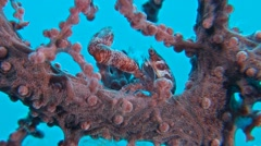 Porcelain crab in a gorgonian coral Stock Footage
