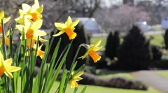 Daffodil Flowers in Foreground Close Up in Park, Road in Background - stock footage