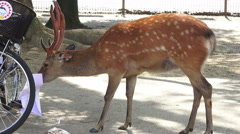 Deer Chewing On Paper Tourist Map For Bike Besket In Nara Japan - stock footage
