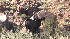 Mule Deer Buck on Hilltop Looks Away in Red Rock Country Stock Footage
