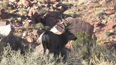 Panting Mule Deer Buck on Top of Hill in Red Rock Country Stock Footage