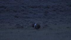 Male Sage Grouse Dancing on Prairie Lek Stock Footage