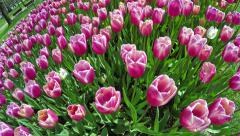 Overfly a variety of pink tulips Stock Footage