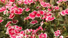 Close up of Dianthus chinensis flower Stock Footage