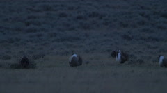 "Male Sage Grouse ""Plopping"" Their Gular Sacks on Prairie Stock Footage"