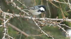 Bird songs: Coal tit (Periparus ater) singing on a larch twig. Stock Footage