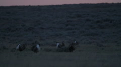 Slow Motion pan of Dancing Sage Grouse Stock Footage