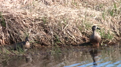 Male and Female Blue Winged Teal Ducks at River Bank Stock Footage