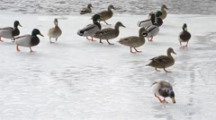 Many wild ducks walk on ice of partly frozen pond Stock Footage