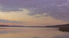 Murmuration flock of starlings flying over lake Stock Footage