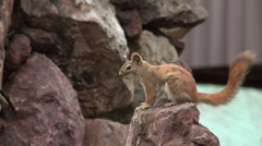 American Red Squirrel sitting on a Rock Stomping Feet Arkistovideo