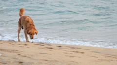 Golden Retriever dog has fun near to the sea, it smells and walks. Stock Footage