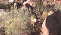 Mule Deer Buck Follows Hot Doe Up Rocky Canyon Stock Footage