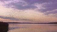 Stock Video Footage of murmuration flock of starlings flying over lake