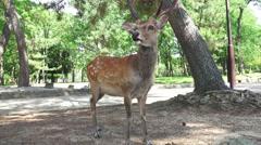 Deer Standing In Forest Park In Nara Japan 02 Stock Footage
