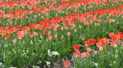 Tulip field background - stock footage