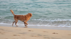 Golden Retriever dog has fun near to the sea, rests and plays with the sand. Stock Footage