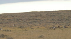 Wide shot of Sage Grouse Lek Stock Footage