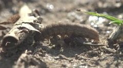 Brown caterpillar crawling on the ground, animal, insect macro Stock Footage