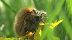 Flower two chafer or shaggy group of scarab beetles reproduction Stock Footage