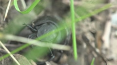 Black bug, insects beetle macro 4k Stock Footage
