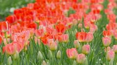 Red Tulips in a field swaying in breezy wind - stock footage