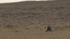 Sage Grouse Attack climax of challenge Stock Footage
