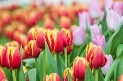 Fresh colorful tulip - stock photo