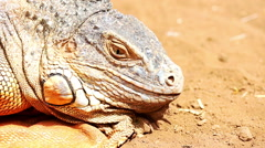 Closeup of iguana or lizard head on yellow sand Stock Footage