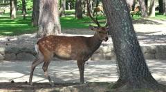Deer Walking In Forest Park In Nara Japan Stock Footage