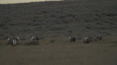 Slow Motion Sage Grouse Displaying - 96fps Stock Footage
