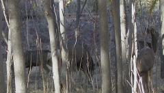 Buck in Woods Sniffing Around Does for Signs of Estrus Stock Footage