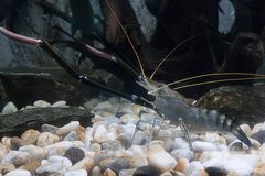 Large crayfish Stock Photos