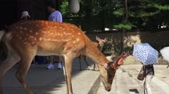 Deer Walks Down Todaiji Temple Steps Near People Nara Japan Stock Footage