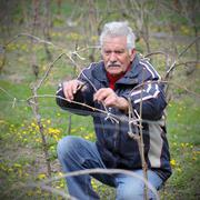 Agriculture, pruning in vineyard, senior man working - stock photo