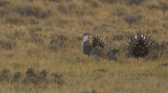 Sage Grouse Dance in Morning Sun Stock Footage